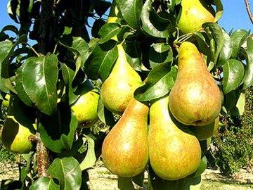 1313152983_bere-bosk Бизнес идея: организация питомника фруктов кустов и деревьев