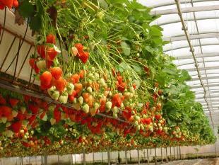 klubnika_kent Бизнес идея по выращиванию клубники