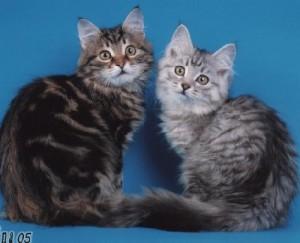 0904c8ea0bdc23cce1faf529b048cdff-300x243 Бизнес идея: создаем питомник для кошек