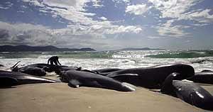 deadPilotWhales Куда уходят киты?